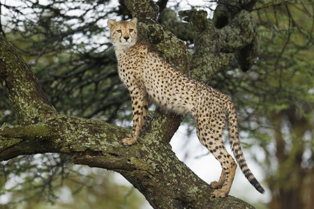 A cheetah in a tree