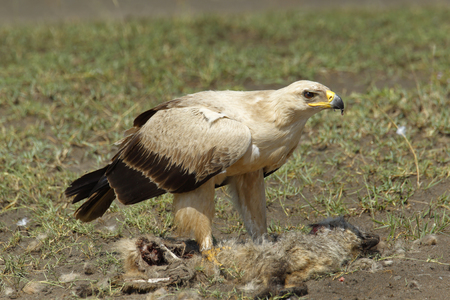 A Tawny eagle with a fox carcass on Africas Serengeti Plains