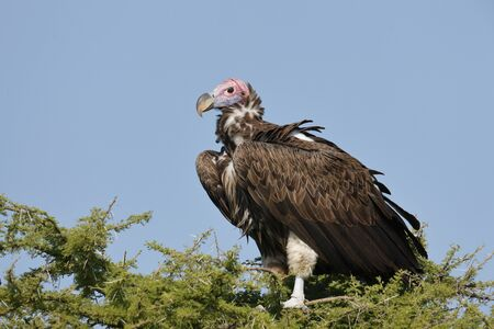 A Lappet-faced Vulture perched in a tree