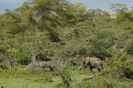 An african elephant in Africas  Ngorongoro Conservation Area.
