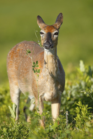 A White-tailed deer feeding on vegitation