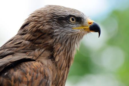 chrysaetos: Portrait of a golden eagle (Aquila chrysaetos)