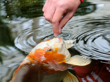 garden pond: Feeding koi carp by hand (Cyprinus Rubrofuscus) Stock Photo