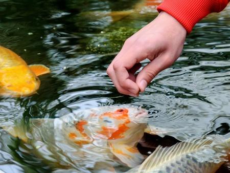 koi fish pond: Feeding koi carp by hand (Cyprinus Rubrofuscus) Stock Photo