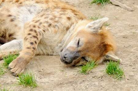 Tired spotted hyena (Crocuta crocuta) in Blijdorp zoo, Rotterdam, the Netherlands