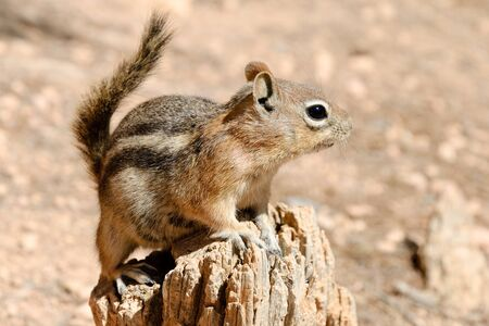 np: Cautious  squirrel (Spermophilus lateralis), Bryce Canyon NP, Utah, USA