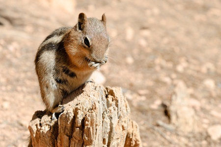 Nibbling squirrel (Spermophilus lateralis), Bryce Canyon NP, Utah, USA