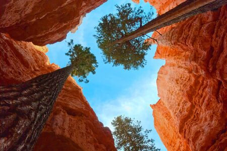 Giant trees struggle for life when surrounded by high steep hoodoos, Bryce Canyon NP, Utah, USA photo