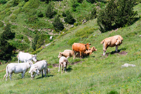 Herd of cows in french pyrenees Stock Photo