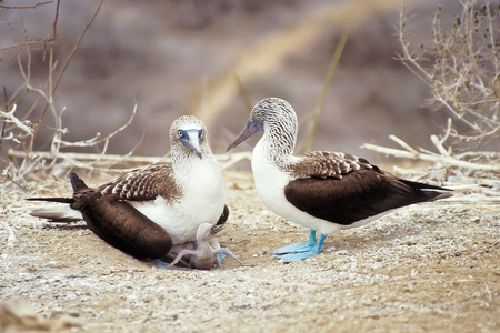 Blue-footed boobies with hungry chick (Sula nebouxi), Galapagos Islands, Ecuador