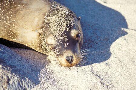 Sunbathing sea lion (Zalophus californianus), Galapagos Islands, Ecuador