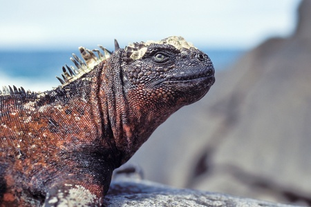Marine iguana (Amblyrhynchus cristatus) on Espanola, Galapagos Islands, Ecuador photo