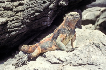 Marine iguana (Amblyrhynchus cristatus) on Espanola, Galapagos Islands, Ecuador Stock Photo - 13337987