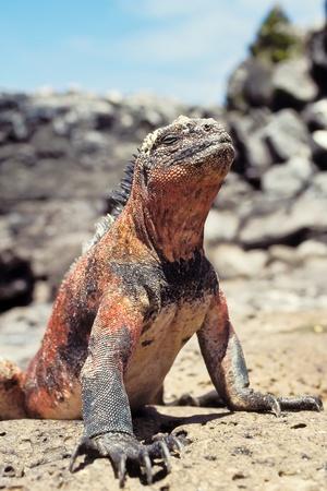 Marine iguana (Amblyrhynchus cristatus) on Espanola, Galapagos Islands, Ecuador Stock Photo