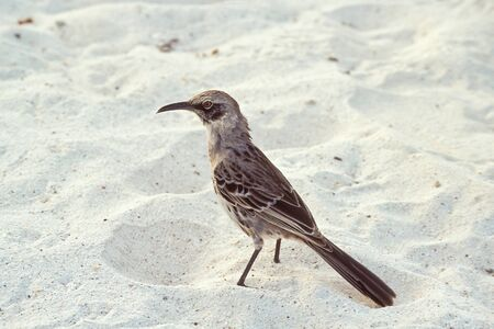 Hood mockingbird (Nesomimus macdonaldi) on beach at Gardner Bay, Espanola, Galapagos Islands, Ecuador Stock Photo - 13337980