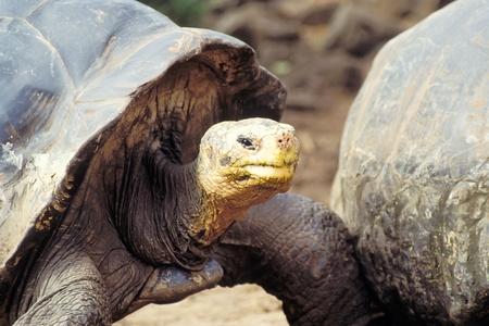 Giant tortoise (Geochelone elephantopus) at Charles Darwin Research Station on Santa Cruz, Galapagos Islands, Ecuador photo