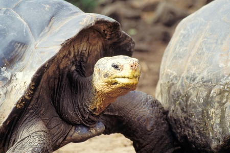 Giant tortoise (Geochelone elephantopus) at Charles Darwin Research Station on Santa Cruz, Galapagos Islands, Ecuador