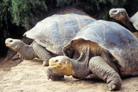 Giant tortoises (Geochelone elephantopus) at Charles Darwin Research Station on Santa Cruz, Galapagos Islands, Ecuador Stock Photo - 13453714