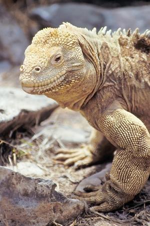 Santa Fe land iguana (Conolophus pallidus) on Santa Fe, Galapagos Islands, Ecuador