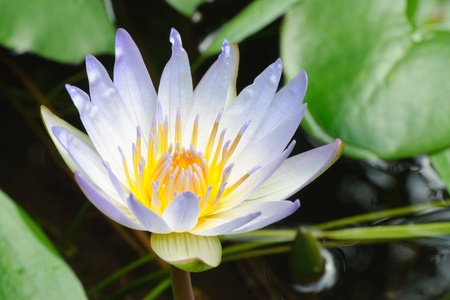 Water lily which is found growing abundantly in freshwater habitats in tropical regions of Africa, Nymphaea capensis (Cape blue water lily)