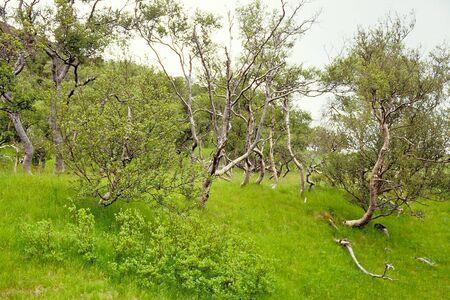 unspoilt: Birch trees in Thorsmork, Iceland Stock Photo