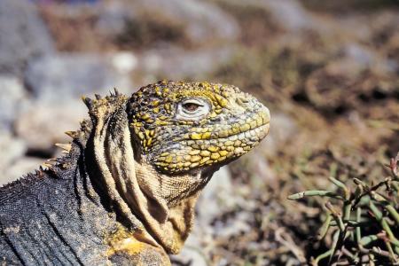 Galapagos land iguana (Conolophus subcristatus) on South Plaza, Galapagos Islands, Ecuador