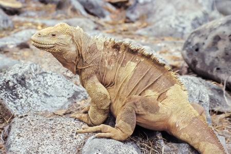 Santa Fe land iguana (Conolophus pallidus) on Santa Fe, Galapagos Islands, Ecuador photo