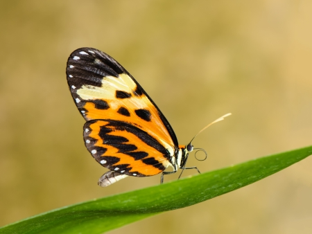 Tropical butterfly (Heliconius numata aurora) sitting on leaf