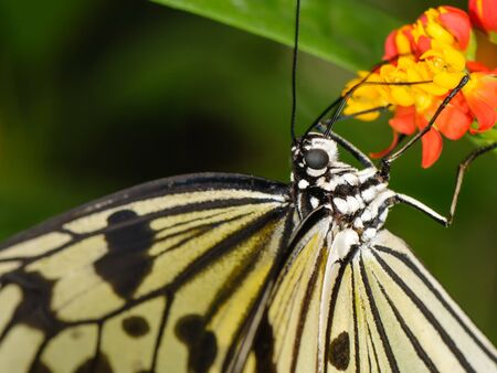 tropical butterfly (Idea leuconoe or rice paper butterfly) hanging on plant Stock Photo
