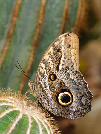 Tropical butterfly (Owl butterfly) sitting on spiky cactus