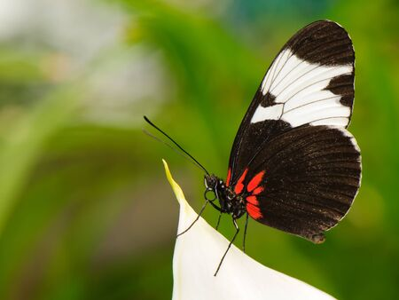 Tropical butterfly (Heliconius melpomene) sitting on leaf