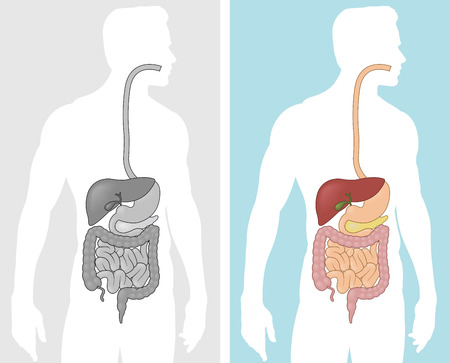 Human Digestive System Stock Vector - 27552475