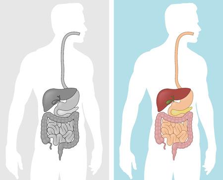 sistema digestivo: Sistema digestivo humano Vectores