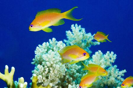 basslet: Anthias peces y corales blandos en un arrecife de coral tropical