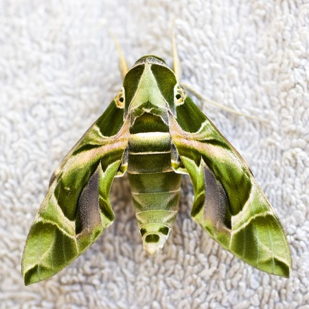 sphingidae: Closeup detail of an Egyptian sphinxmoth on a linen background