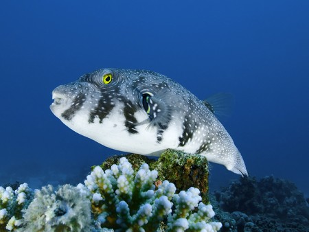 Large whitespotted pufferfish on a tropical coral reef Stock Photo - 7311900