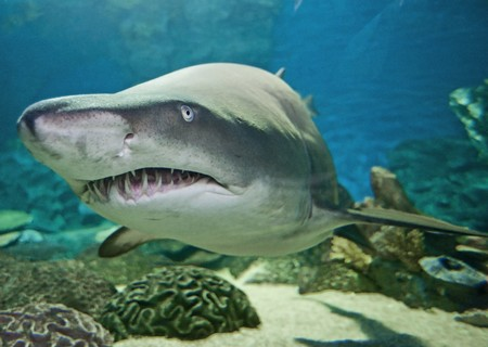 View of a large ragged tooth shark swimming in an aquarium from an underwater tunnel