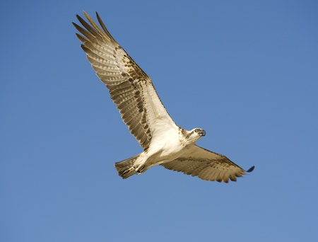 Large Osprey in flight with its wing spread photo
