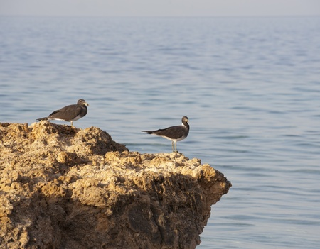 sooty: Pair of sooty sea gulls perched on rocks at the coast with sea background Stock Photo