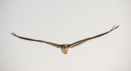 Large Osprey bird in flight with its wings spread photo
