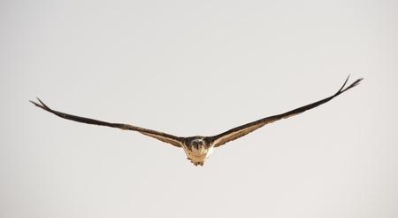 bird osprey: Large Osprey bird in flight with its wings spread