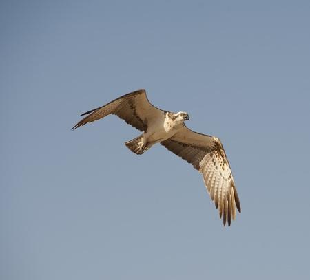 osprey bird: Large Osprey bird in flight with its wings spread