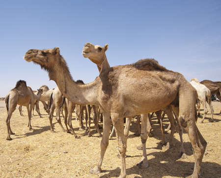 Dromedaries at an African camel market
