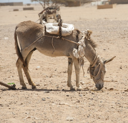 Domestic farm donkey loaded up in a African desert settlement