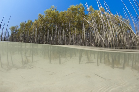 Split image above and below the water of a mangrove tree with roots in lagoon photo