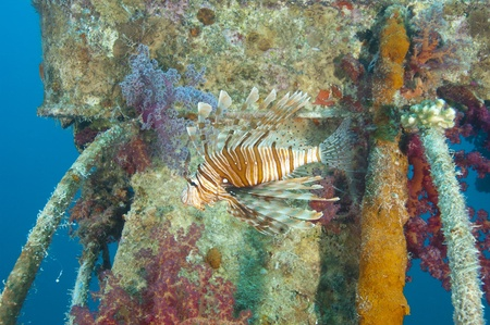 turkeyfish: Red Sea lionfish on a shipwreck with beautiful soft corals