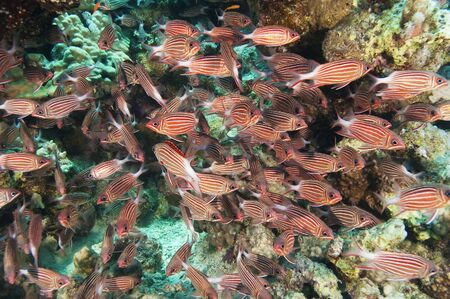 Shoal of crown squirrelfish under an overhang on a coral reef photo