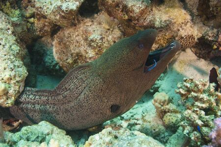 Giant moray eel on a coral reef with a cleaner wrasse in its mouth photo