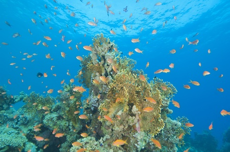 Stunning tropical coral reef scene with fire coral and anthias fish photo