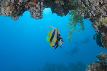 chaetodontidae: Red Sea bannerfish on a coral reef under an overhang with scuba divers in background